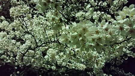 夜桜を見に行ってきました。